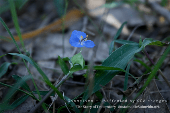Commelina unaffected by CO2 changes - The Story of Understory | SustainableSuburbia.net