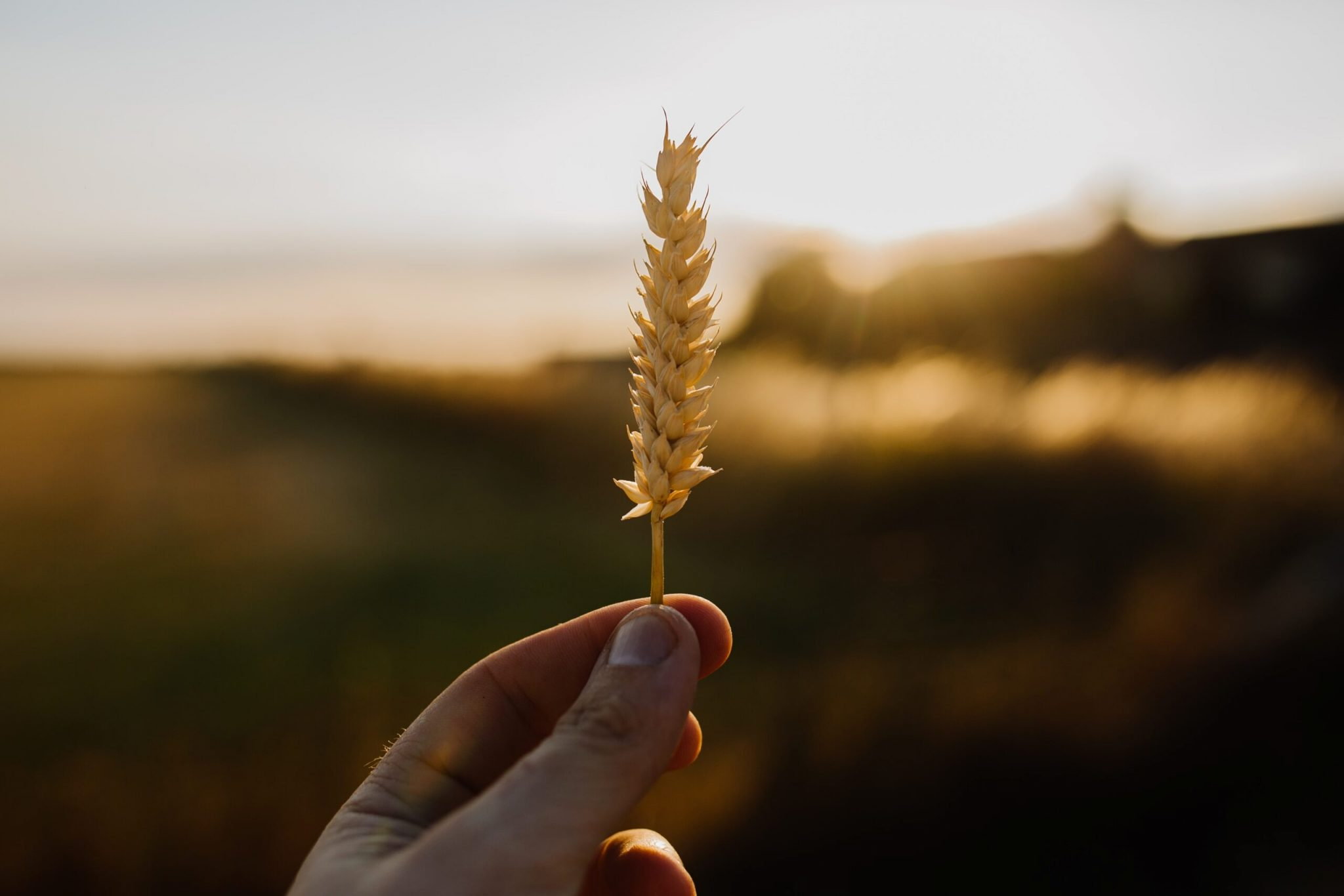 Hand holding a stem of wheat