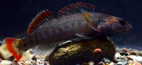 Etowah Darter conservationfisheries.org