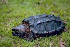 alligator snapping turtle dnr