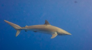silky shark swimming. Photo Kris-Mikael Krister (CC BY 2.0)
