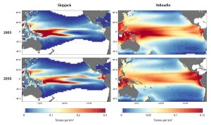 Four maps show distribution of skipjack and yellowfin tuna in the Pacific Ocean in 2005, and projected distribution eastward in 2050. Source: Pacific Community.