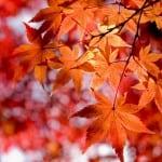 Листья клена лечебные свойства и противопоказания. Кленовые листья для лечения суставов. Получение и применение кленового масла