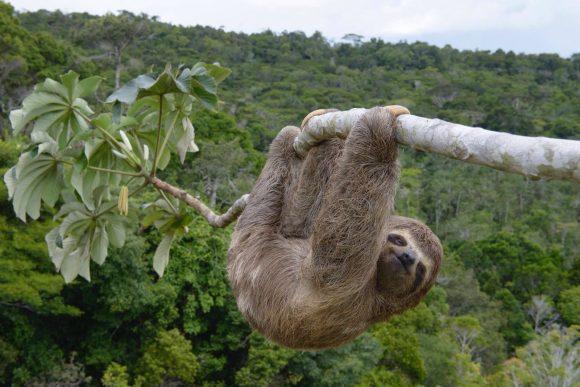 Bicho-preguiça é flagrado no Parque do Pau-brasil, um dos remanescentes de Mata Atlântica do Nordeste. Crédito: Luciano Candisani / Divulgação