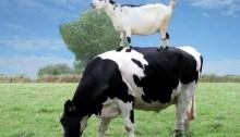 susu kambing vs susu sapi