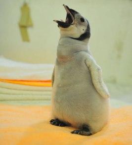 pinguino-calvo