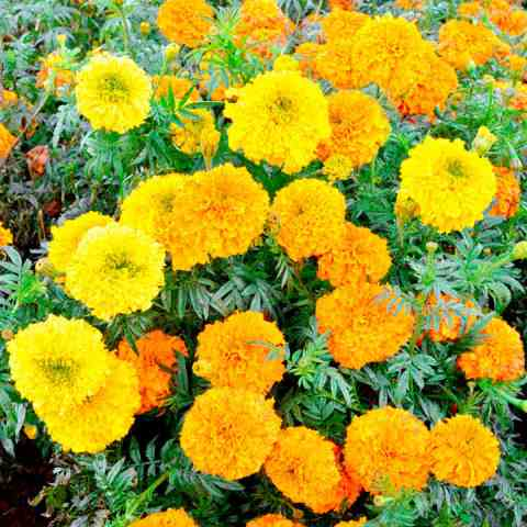 Marigold Indian Seeds   Kushi   Marigold Seeds   Flower Seeds     Marigold Indian Seeds   Kushi