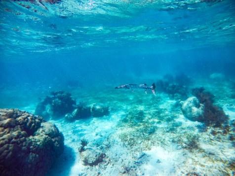 Common name: Barracuda Scientific name: Sphyraenidea Type: Fish Diet: Fish Average full-grown size: 4-6 ft. Fun fact: A Barracuda killed Nemo's Mom. Source: Encyclopeadia Britannica