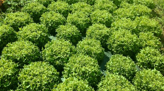 Vihreä Makea Frisee