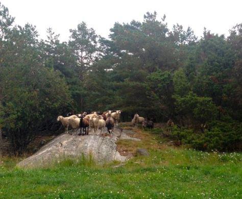 Sikka lampaat