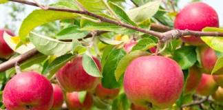 Apple Fruit Benefits in Hindi - Seb Ke Fayde