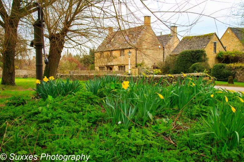 condicote daffodils