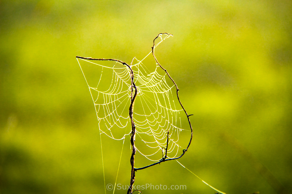 morning cobweb