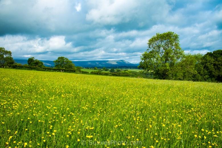 buttercup meadow black hill