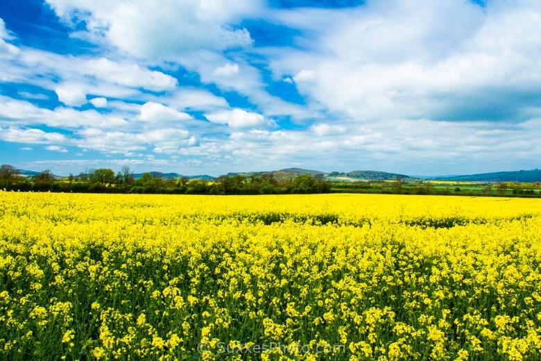 Stanton rapeseed field