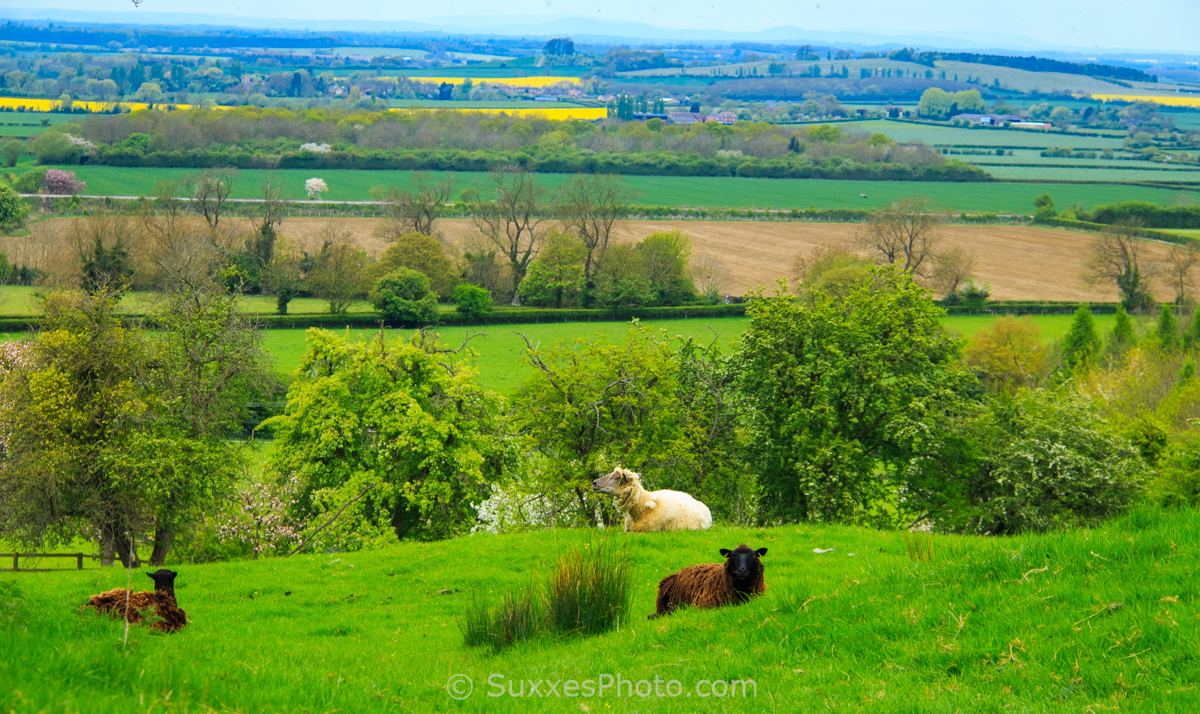 sheep cotswold