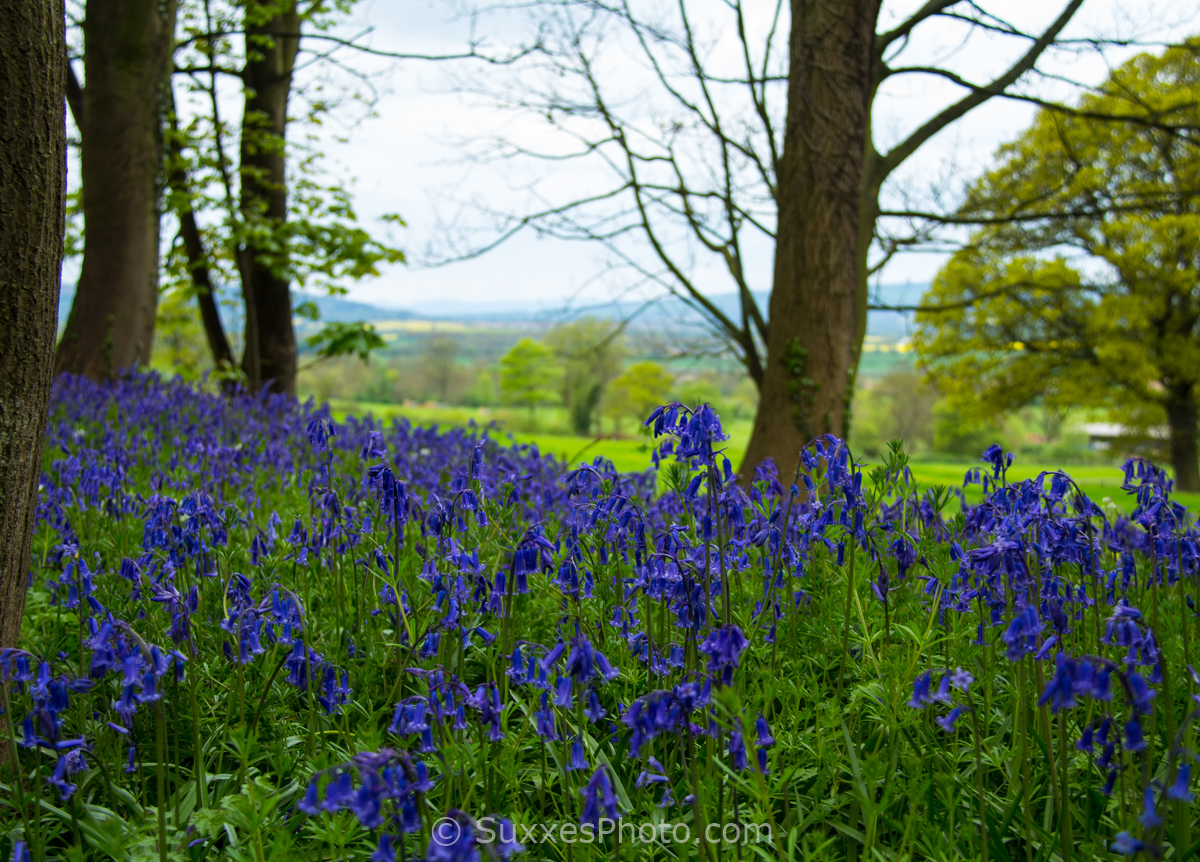 bluebells buckland cotswold