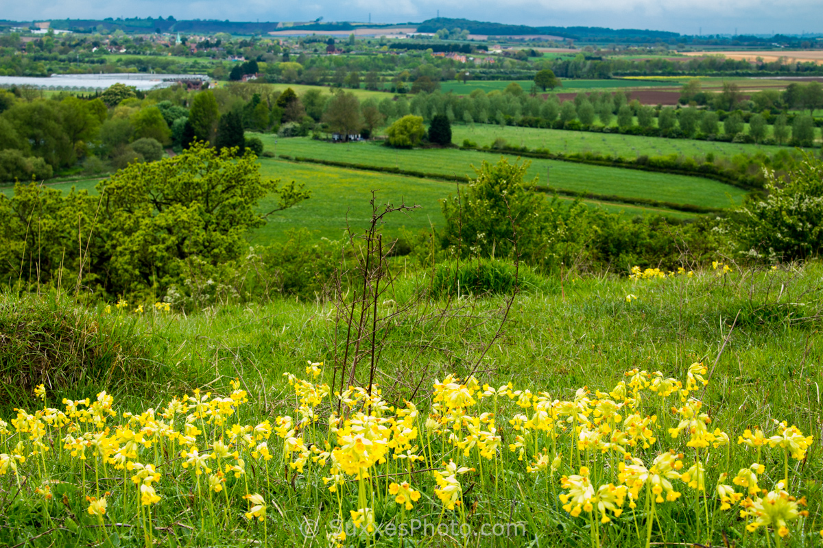 cleeve prior hill cowslip