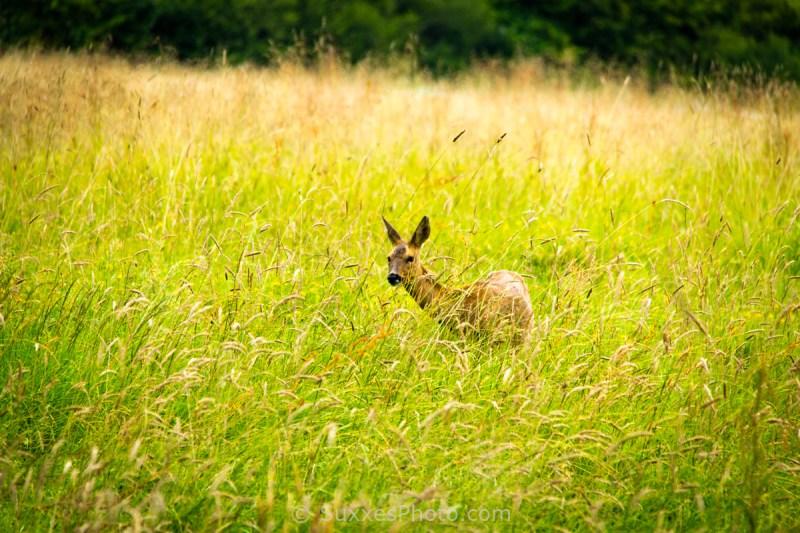 deer sussex border path