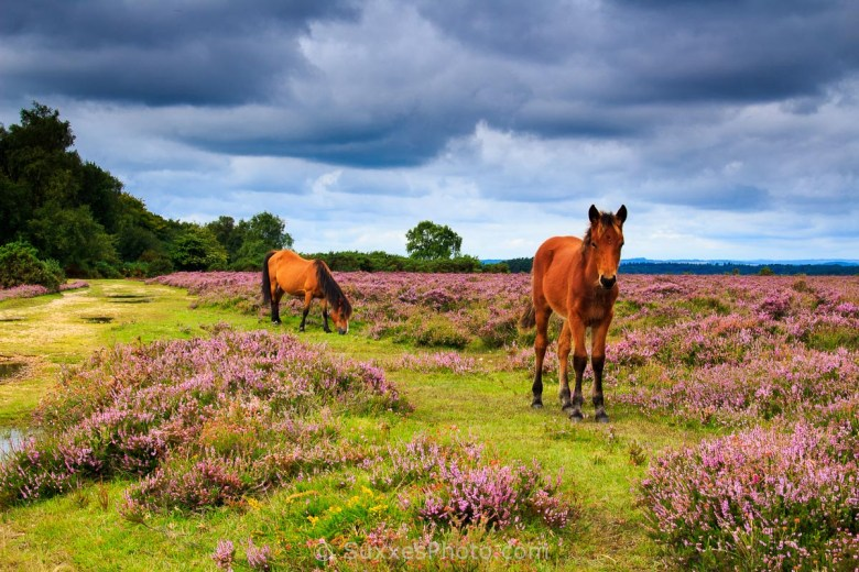 wild horses new forest