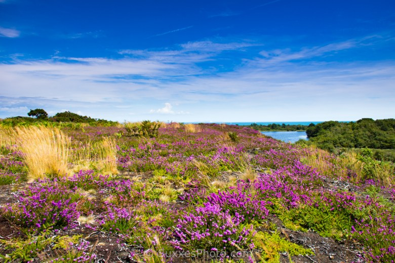 heather and heath studland