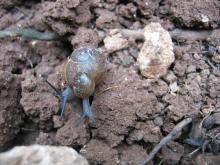 Jamaican snails