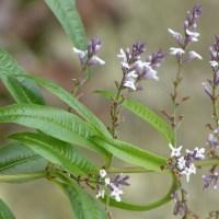 Lemon verbena tea - the recipe