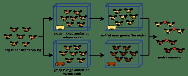 Schema van nageslacht van fruitvliegjes