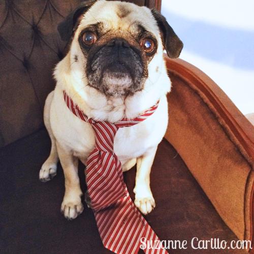 pug wearing a tie