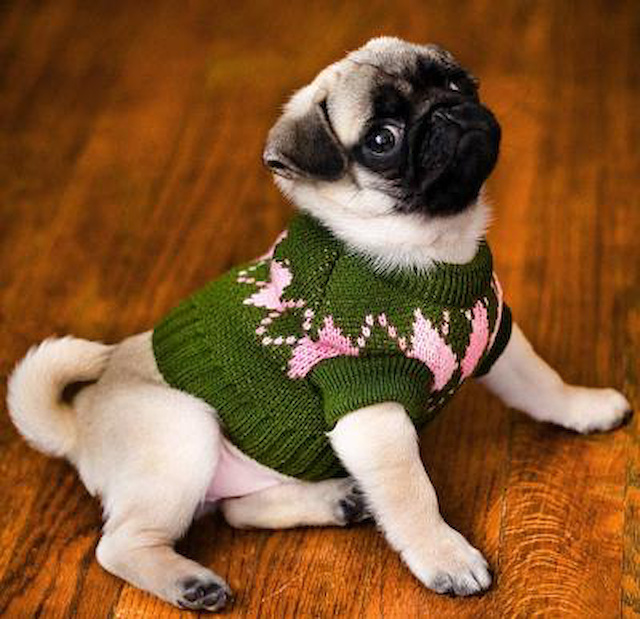 pug wearing sweater