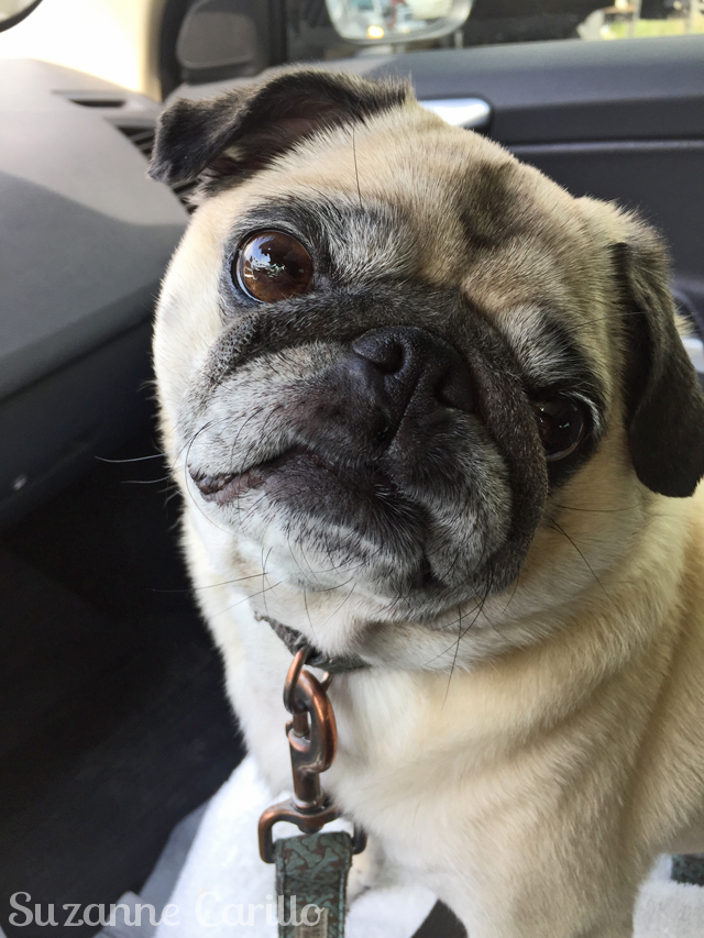 zoe the cute pug suzanne carillo