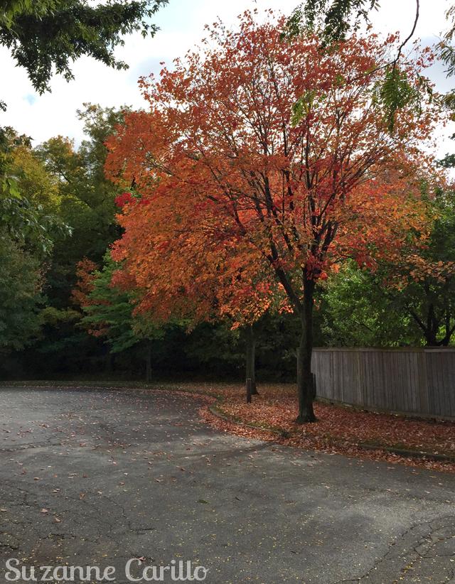 fall tree autumn in ontario
