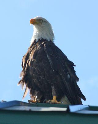 Eagle cori