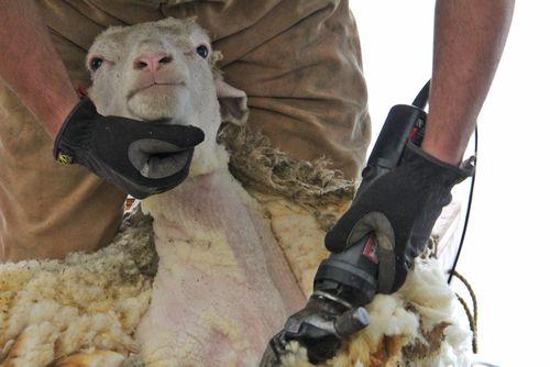 Sheep shearing head shot
