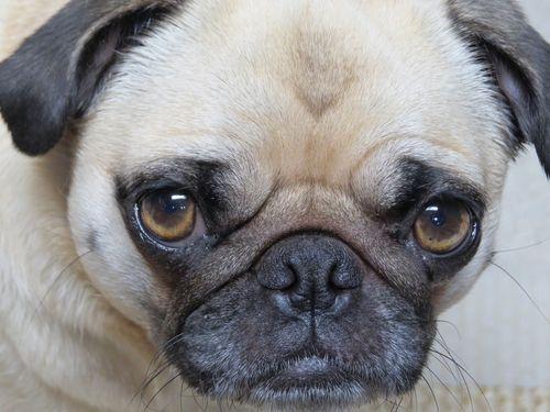 Guilty pug zoe