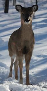 2017-02-deer-1