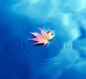 Autumn maple leaf on the water
