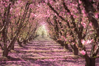 Pink Blossoms in Peach Tree Orchard (Prunus persica)