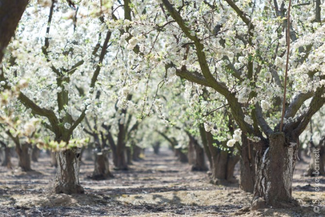 Plum Tree in Orchard