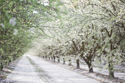 White Blossoms in Almond Tree Orchard