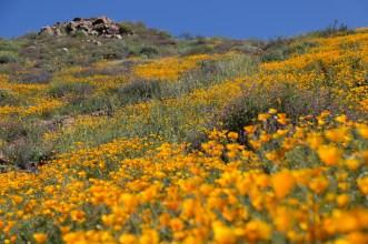 California_poppies-145