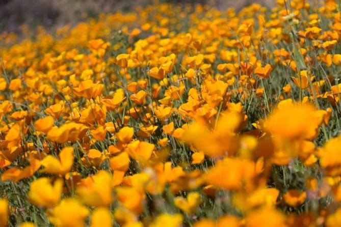 California_poppies-163