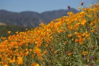California_poppies-174