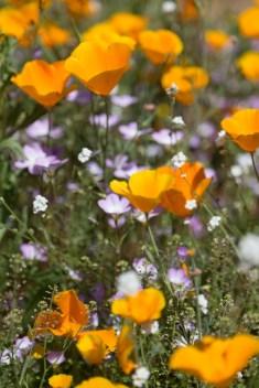 California_poppies-186