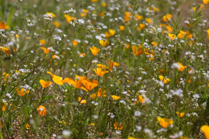 California_poppies-198