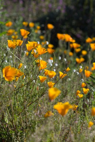 California_poppies-43