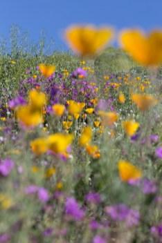 California_poppies-55