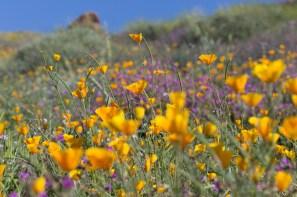 California_poppies-75