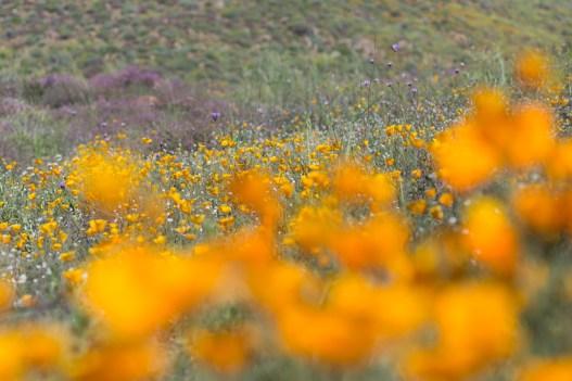 California_poppies-84