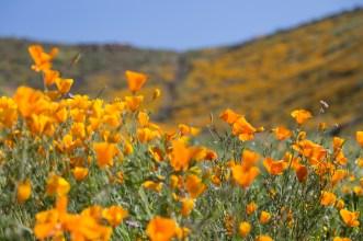 California_poppies-88